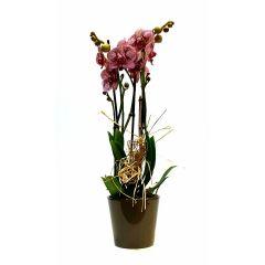 Orchidee Penelope