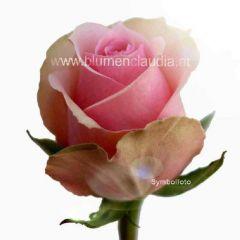 Rose pink-weiße