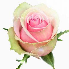 Rose rosa-weiß
