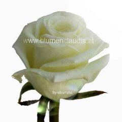 Rose weiß