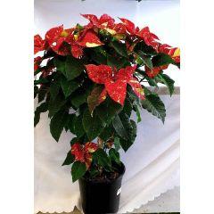 Rot gelber Weihnachtsstern Hybride 1