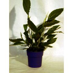 Spathiphyllum, Scheidenblatt
