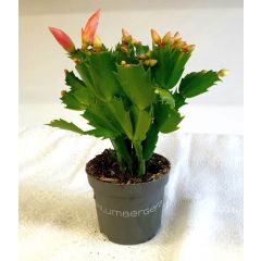 Cactaceae Weihnachtskaktus